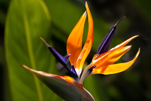 What is Bird of Paradise?
