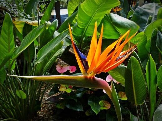 birds of paradise plant or Strelitzia Reginae