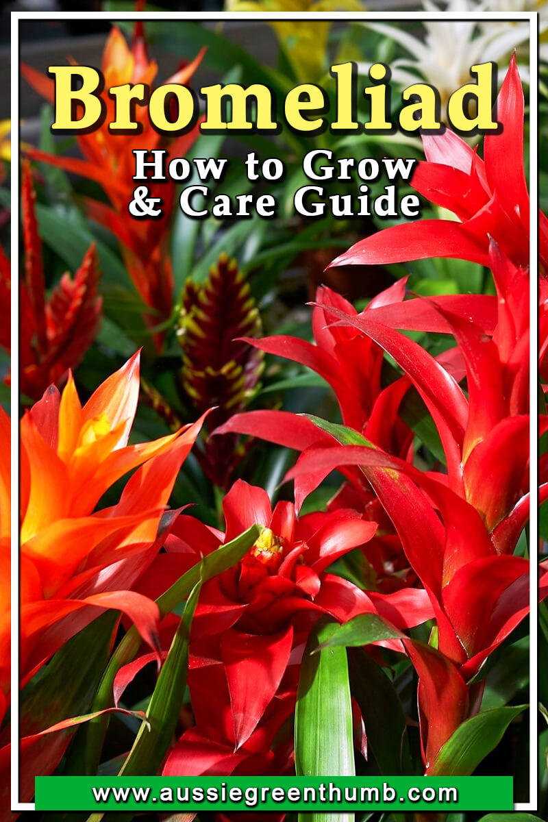 Bromeliad How to Grow and Care Guide