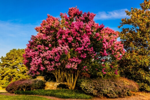 Crepe Myrtle is a fantastic towering tree of the Lythraceae family