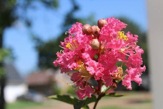Crepe Myrtle or lagerstroemia indica plants are a fantastic floral choice when it comes to medium or large trees