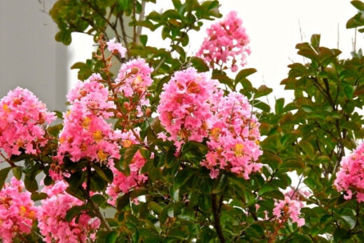Crepe Myrtle trees love a lot of sun, making them ideal garden plants