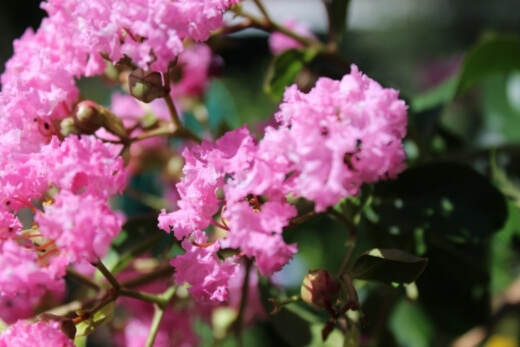 Crepe Myrtles are drought-tolerant trees and will only need to be deeply watered once a week, twice if it's a particularly hot or dry season