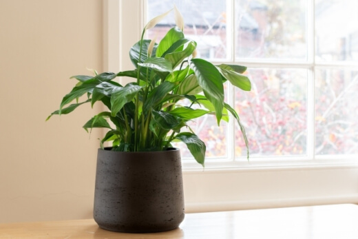Peace lily is the go to indoor plant for beginners