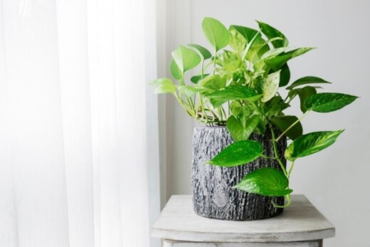 Pothos are air-purifying machine
