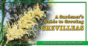 A Gardeners Guide to Growing Grevilleas