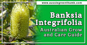 Banksia Integrifolia Australian Grow and Care Guide