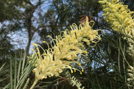 Grevilleas are a favourite in gardens across Australia