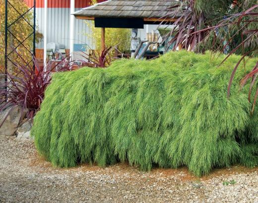 Growing Acacia Cognata