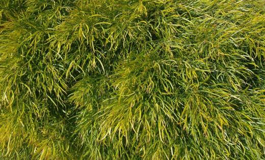How Do You Care for Acacia Cognata