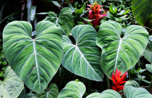 Alocasia is incredibly adaptable when it comes to lower light conditions