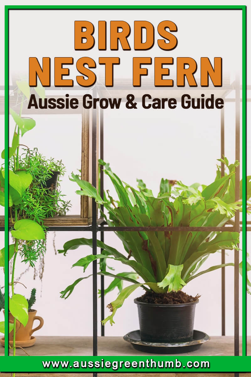 Birds Nest Fern Aussie Grow and Care Guide