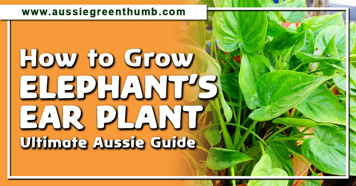 How to Grow Elephant?s Ear Plant Ultimate Aussie Guide