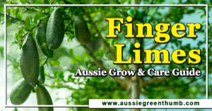 Finger Limes Aussie Grow and Care Guide