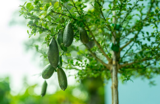 Finger limes, also known as Citrus Australasica, have long been an essential food source for indigenous communities but also offer wonderful landscaping opportunities for home gardens