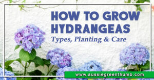 How to Grow Hydrangeas Types, Planting and Care