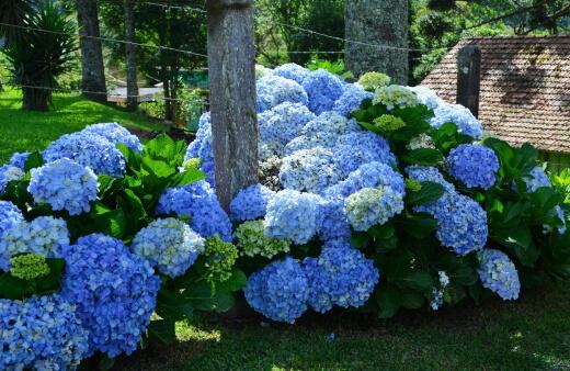 Hydrangeas Growing Guide
