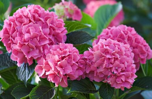 What Are Hydrangeas
