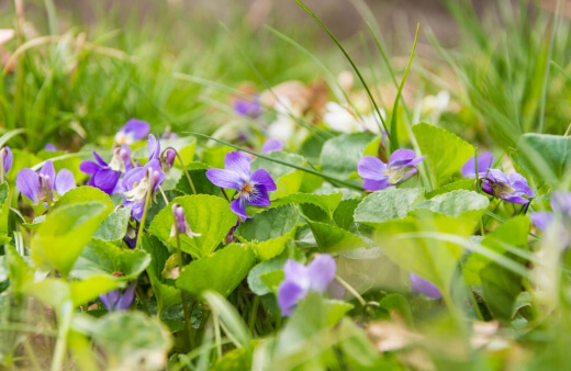 Australian violet (Viola hederacea or Tasmanian Violet) is a stunning indigenous alternative to grass