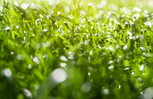 Best native grasses alternatives to use for lawn