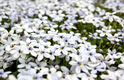 Blue Star Creeper grows in light shade or full sun and features charming blooms in hues of blue and white