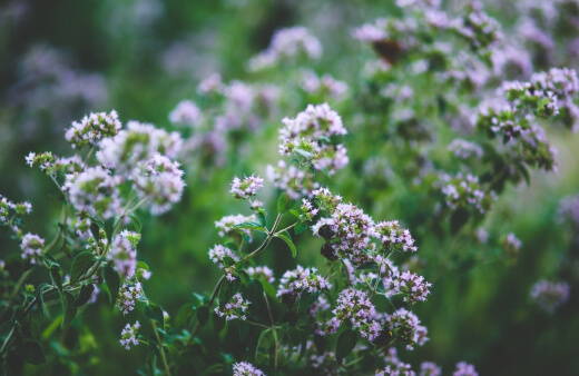 Creeping oregano or oregano grass is a type of groundcover, and comes in multiple forms