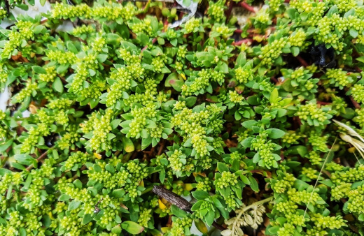 Green Carpet Rupturewort grows well in any soil type, including gravel, and is able to manage heavy traffic easily, making it one of the toughest lawns that anyone can grow
