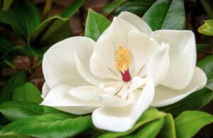 How to Grow Little Gem Magnolia