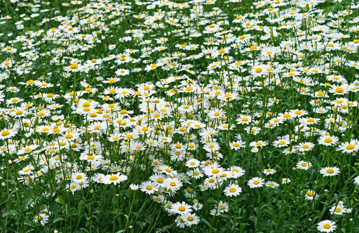 Lawn Chamomile serves as a soft, lush ground cover perfect for sunny areas and a good lawn alternative