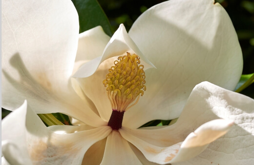 Little Gem Magnolia is the perfect option for those who want to grow a southern magnolia tree but have limited space