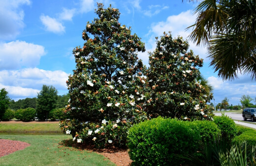 Magnolia Grandiflora, or little gem, is a low-maintenance and tolerant upright grower which offers a lot of visual delight for very little space and effort