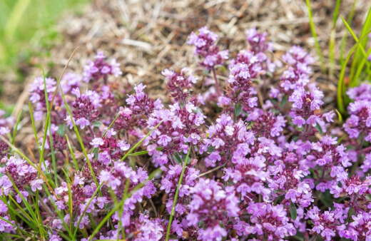 creeping thyme, elfin thyme is studded with vivid lavender and pink flowers through the summer, resistant to drought damage and has multiple uses