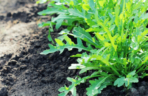 Arugula is a good source of vitamins, as these are the same as cabbage, cauliflower and more.