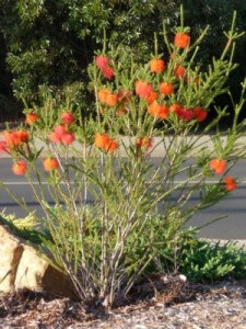 Beaufortia Sparsa grows best in full sun and is very much a bird and wildlife attracting plant