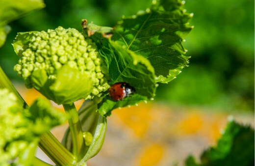 Beneficial bugs are natural pest control