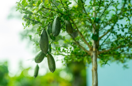 Finger Limes can be grown in pots or in the ground but will require a rich, composted growing medium