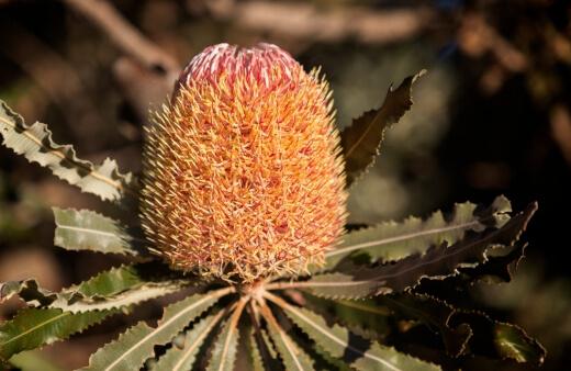 Growing Banksia Baueri
