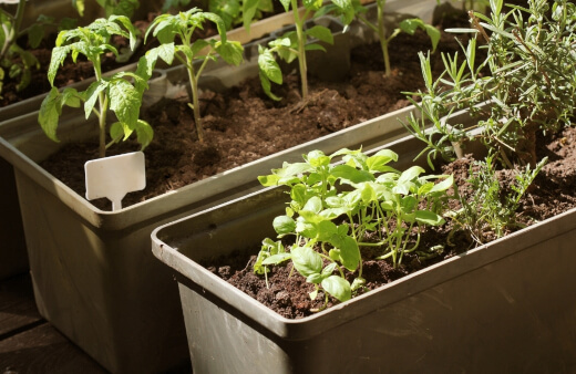 Growing Herbs Inside Containers