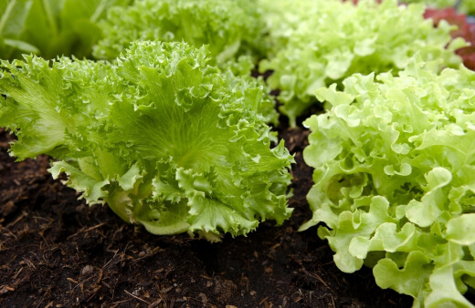 lettuce is one of the easiest vegetable to grow in your backyard