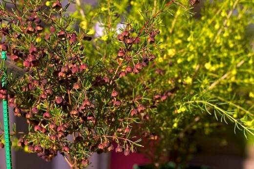 How to Care for Brown Boronia