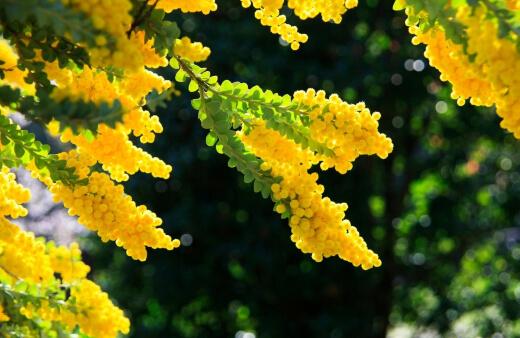How to Grow Acacia Acinacea