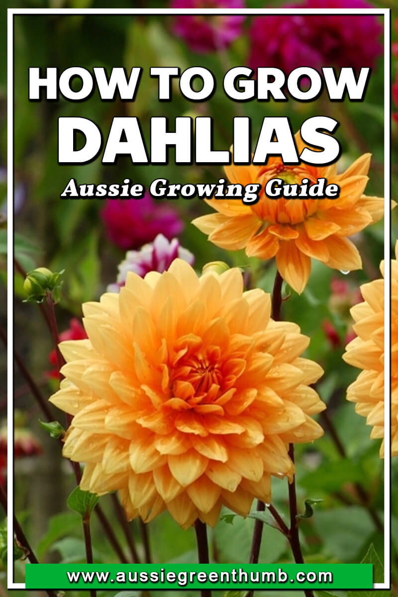 How to Grow Dahlias Aussie Growing Guide