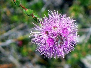 Kunzea Capitata is native to the east coast of Australia, particularly New South Wales