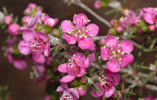 Kunzea affinis is native to the south of Western Australia and as such prefers a temperate to cool climate