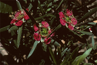 Leptospermum spectabile is endemic to a very small area around the Blue Mountains in NSW near the Colo River.