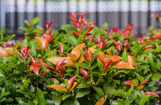 Lilly Pilly, or Syzygium Smithii, is best known for its dark and dense foliage