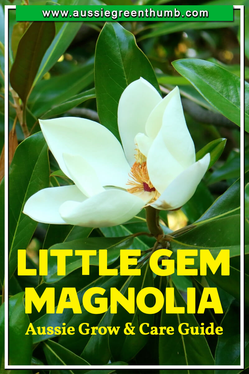 Little Gem Magnolia Aussie Grow and Care Guide