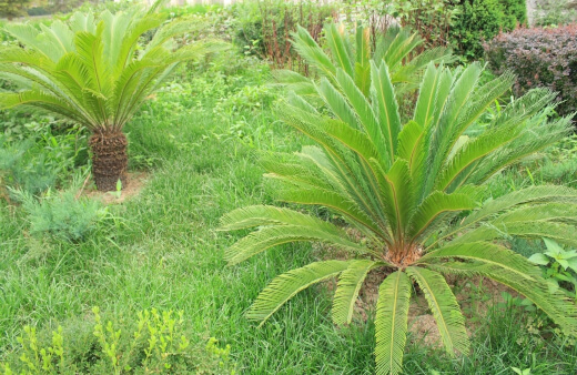 Macrozamia prefer grainy, sandy soil, so you won't need to worry about poorer soil conditions