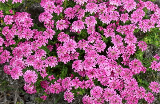 Pimelea Ferruginea is a great way to add an almost year-round pop of pink into your garden