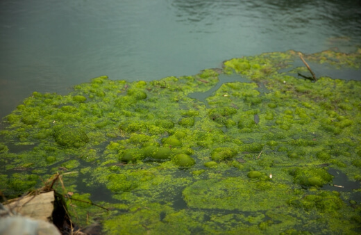 Pond algae is a common complaint among pond-owners, and whilst green sludge is the stuff of nightmares, a totally algae-free pond will always be a pipedream.